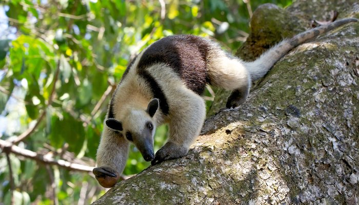 northern tamandua anteater spotted in costa rica