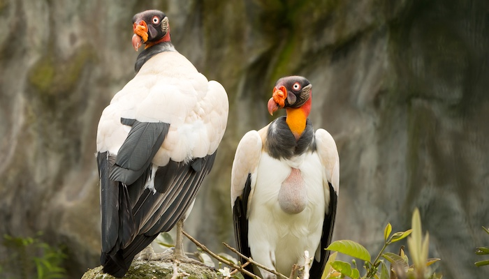 two king vultures