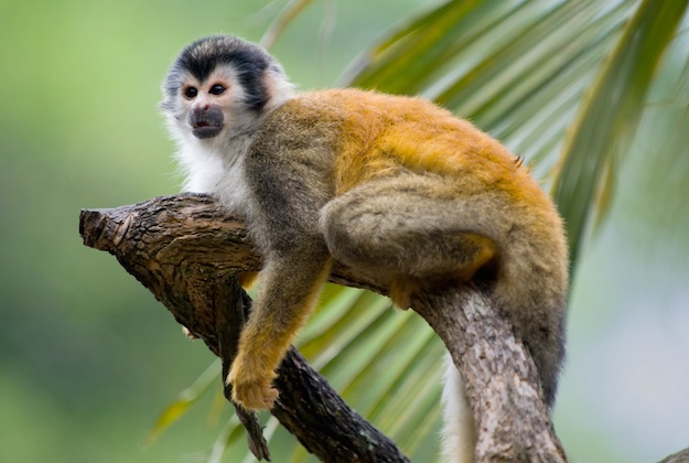 Costa Rica squirrel monkey tour image