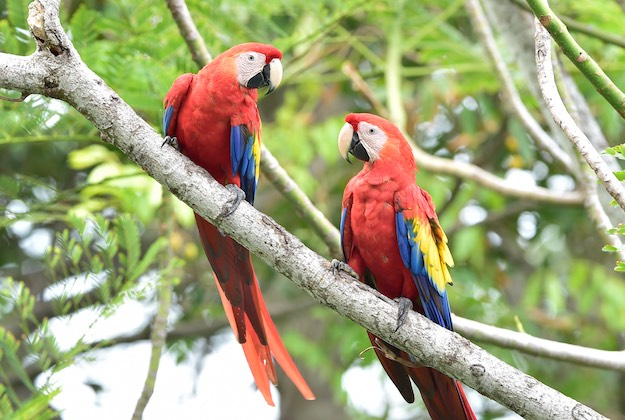 scarlet macaws osa peninsula featured image
