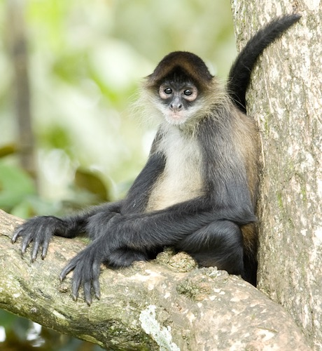 spider monkey in tortuguero costa rica