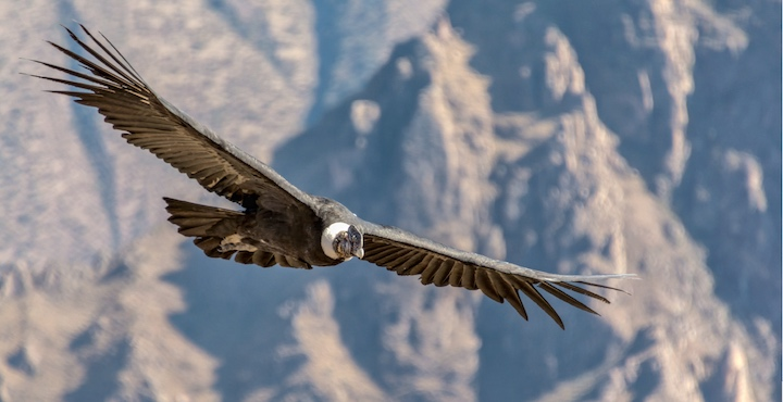 andean condor in the colca canyon peru