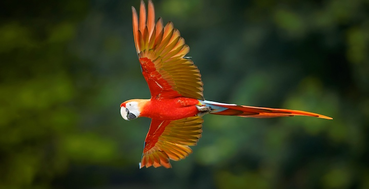 scarlet macaw in the amazon peru