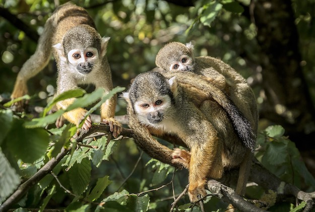 squirrel monkey family in costa rica