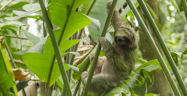 three toed sloth costa rica