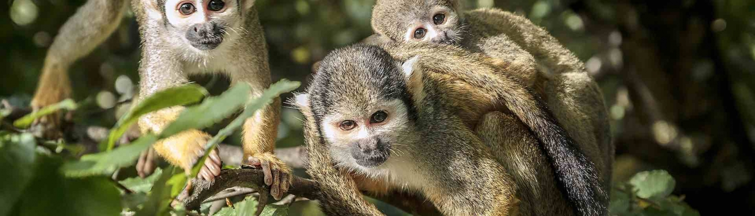 troop of squirrel monkeys in costa rica