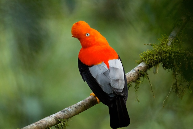 exotic bird in ecuador cloud forest
