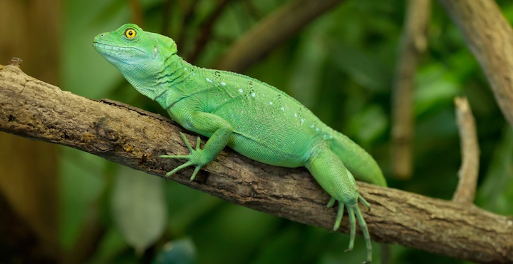 green jesus christ lizard in costa rica