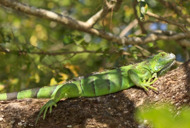 green lizard seen on a costa rica tour