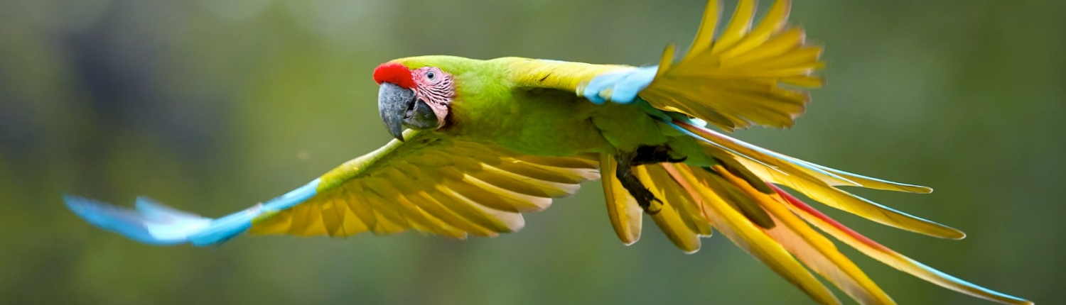 great green macaw seen in costa rica