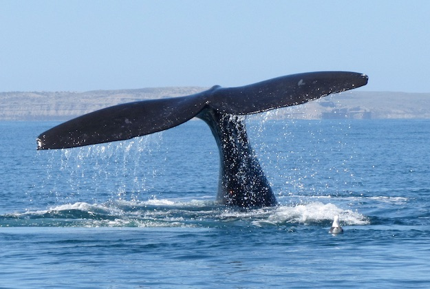 humpback whales in peninsula valdes argentina
