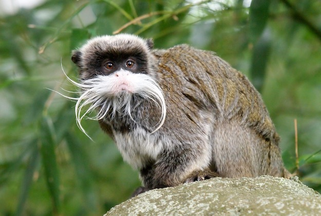 tamarin amazon rainforest brazil