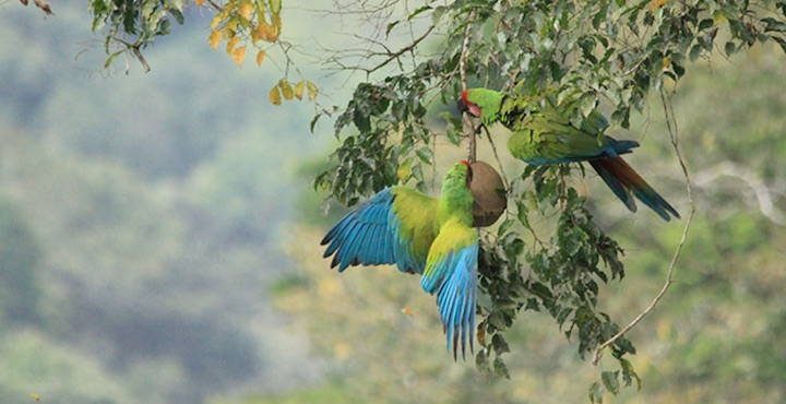 great green macaws spotted on a hiking tour in selva verde costa rica