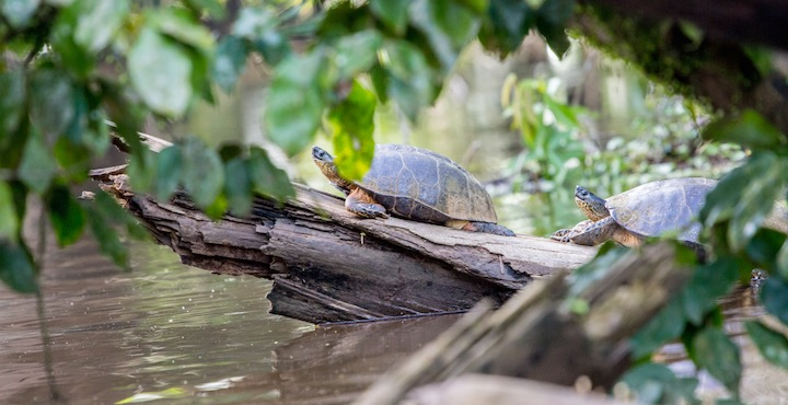 river turtles in tortuguero costa rica