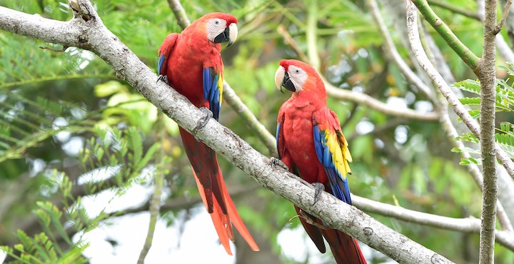 scarlet macaws seen in corcovado national park costa rica