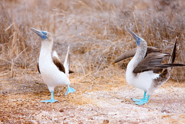 blue footed booby mating ritual
