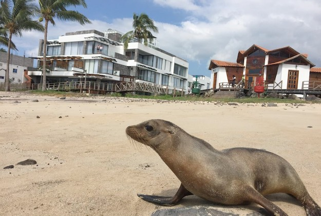 sea lion on the beach infront of the golden bay hotel galapagos