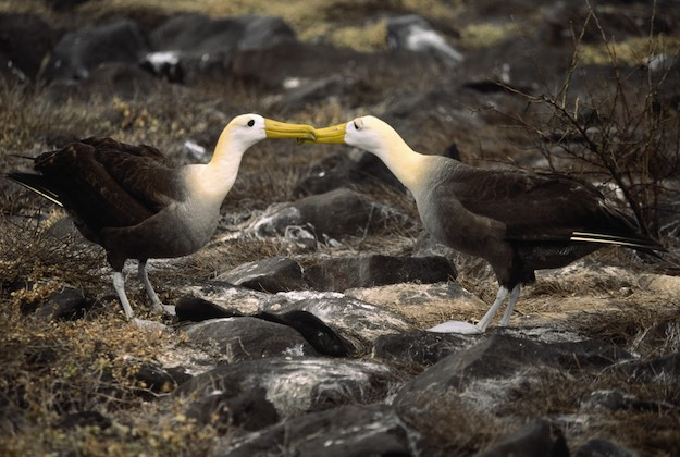 waved albatross courtship dance in galapagos espanola island