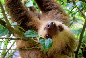 Sloth-in-a-Tree-in-Costa-Rica2